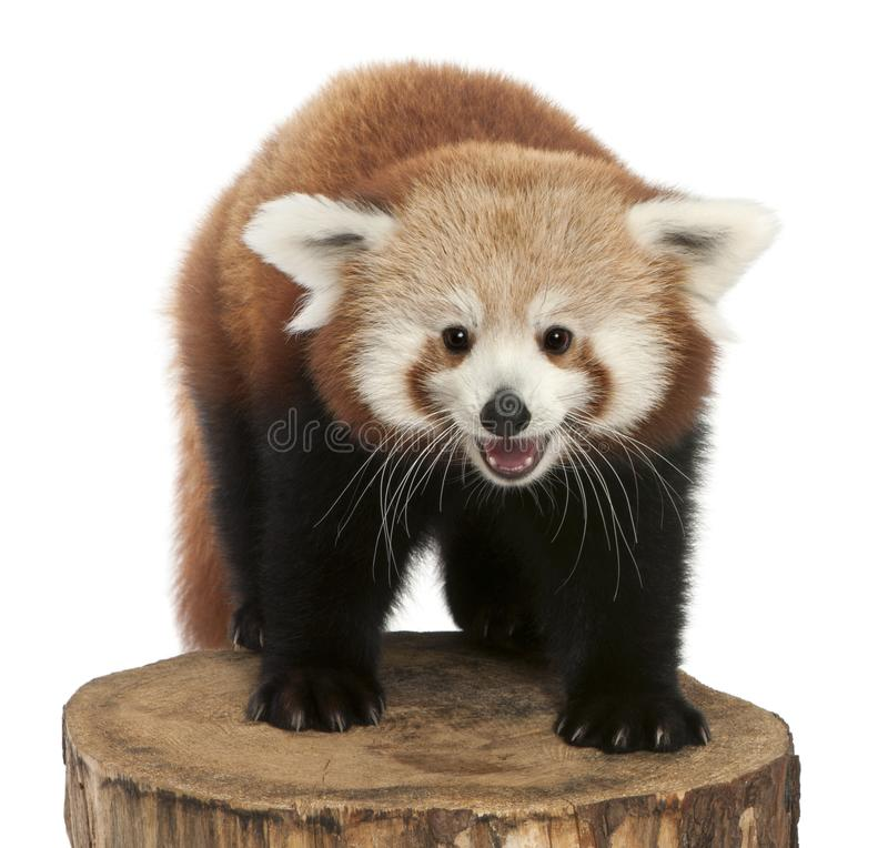 Young Red panda or Shining cat, Ailurus fulgens, 7 months old. On tree trunk in front of white background royalty free stock images