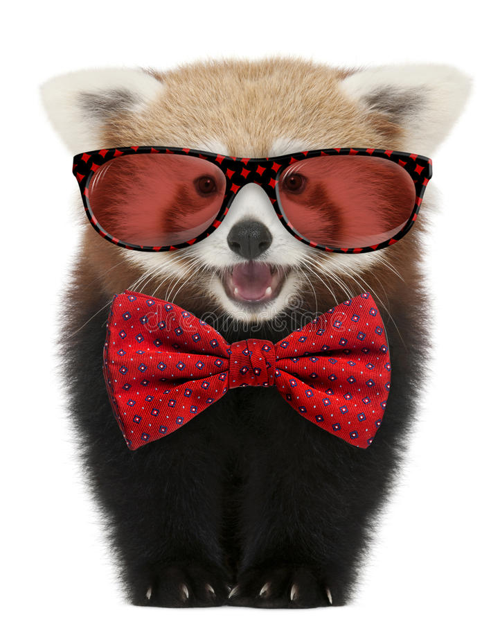 Young Red panda wearing glasses and a bow tie. In front of white background stock photography
