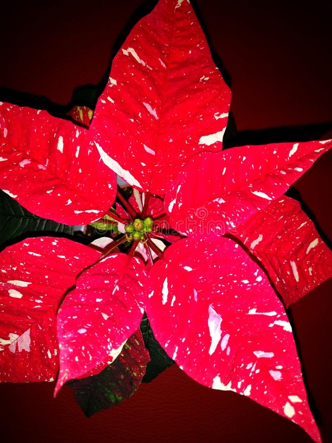 Young red white flowering christmas star at home stock photos