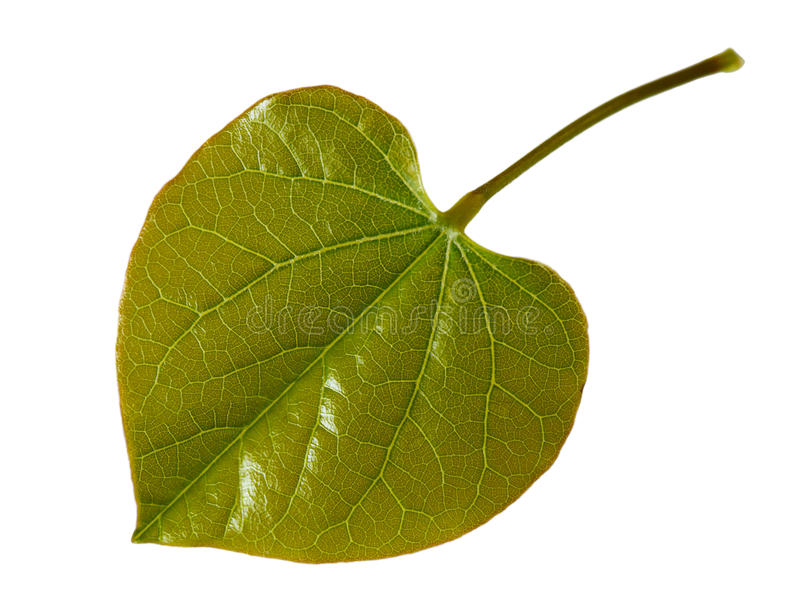 Download Young Redbud Leaf stock image. Image of detail, young - 14451783