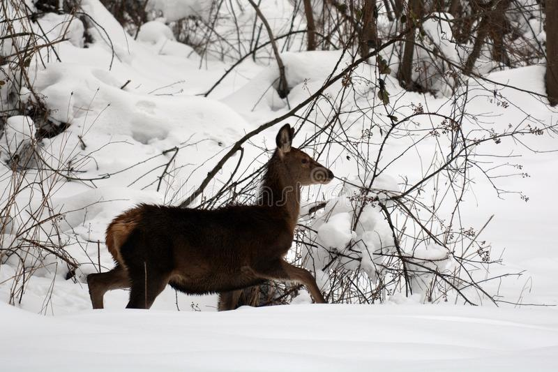 Young red deer in the snow stock images