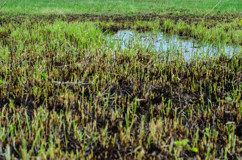 Young reed in Dnieper marshes. Young reed plants in Dnieper marshes on spring royalty free stock photo