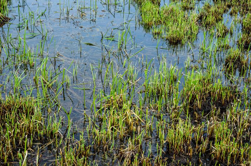 Young reed in Dnieper marshes. Young reed plants in Dnieper marshes on spring royalty free stock photography