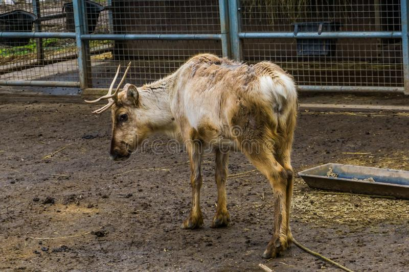 Young reindeer suffering from hair loss on its back, animal Diseases royalty free stock photography