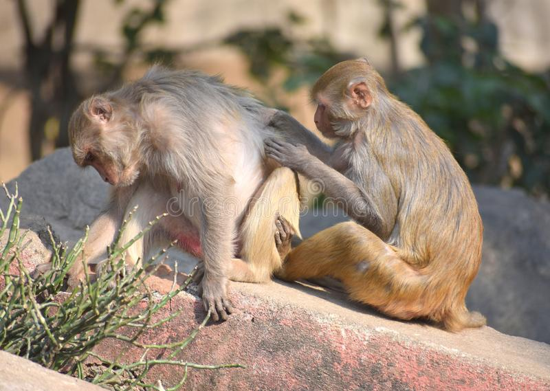 A young Rhesus macaque monkey scratching the back of an adult female - Love and support concept stock images