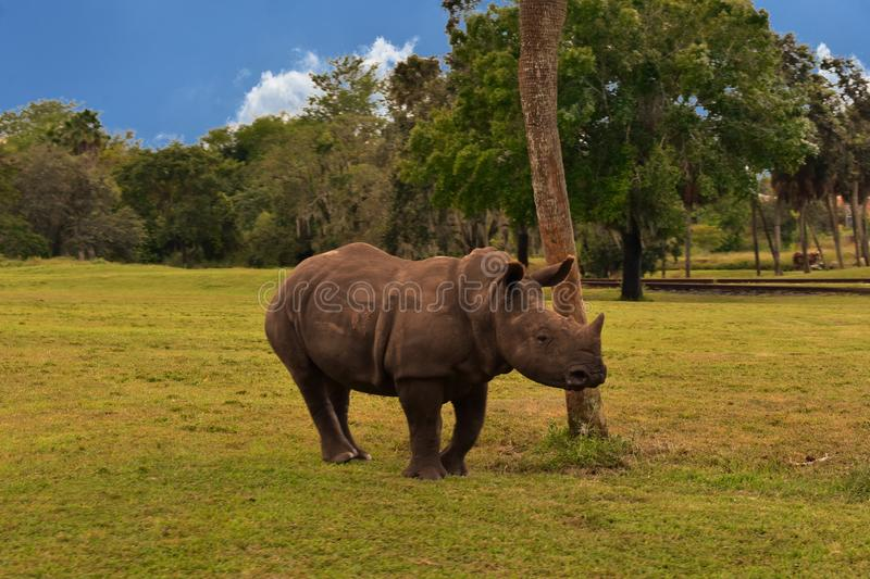 Young Rhino in green meadow on green forest and partial cloudy background in Bush Gardens Tampa stock images