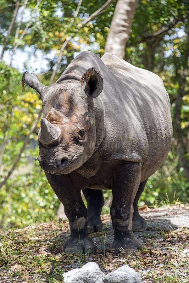 Young Rhinoceros stock photos