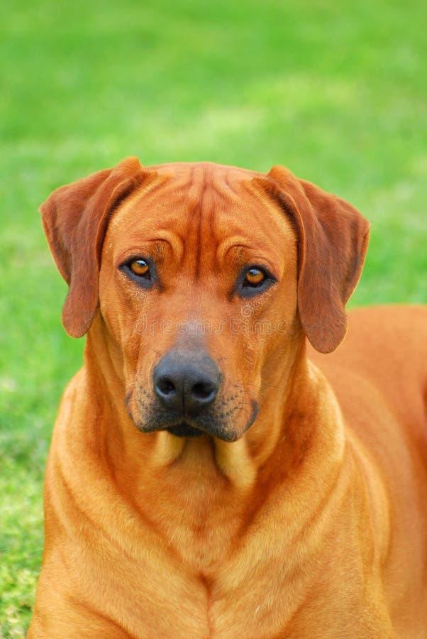 Young Rhodesian Ridgeback dog portrait stock image