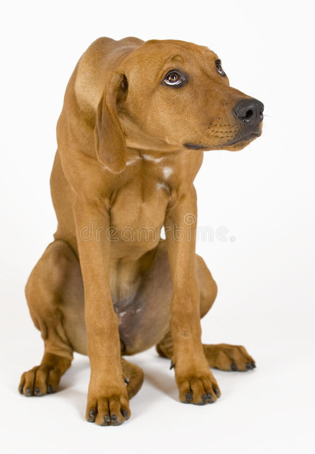 Young Rhodesian Ridgeback female, 5 month old royalty free stock images