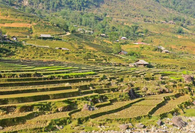 Young rice crops in hill tribe. Traditional rice terraced fields in Sapa, Vietnam stock photography