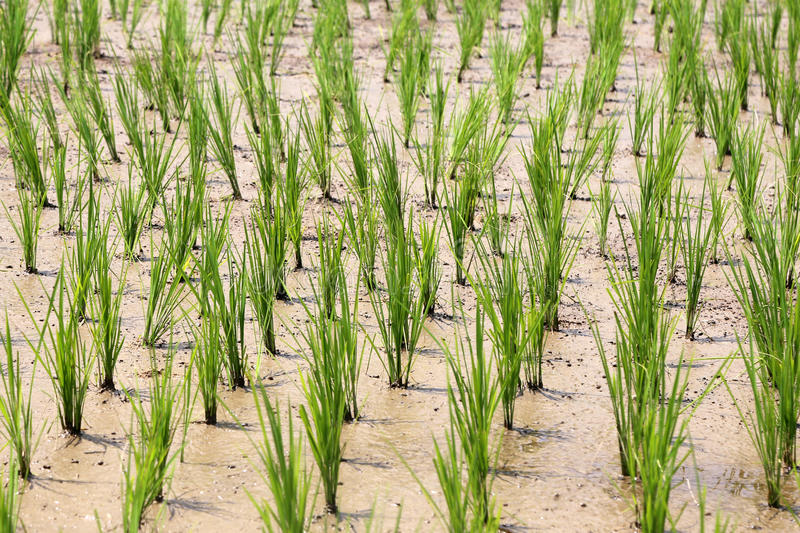 Young rice plants royalty free stock photos