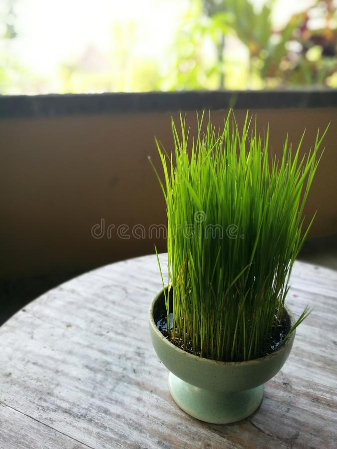 Young rice plants grown as deco, Ubud, Bali royalty free stock photos