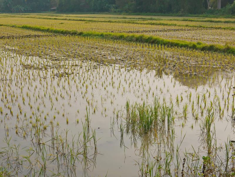Young rice plants in a paddy field filled with water in rural area in the North of Thailand royalty free stock photos