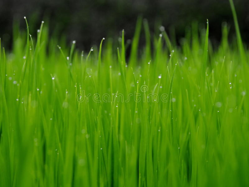Young rice on the rice field on rainy Bali. Photo of young green rice on the rice field after rain on Bali island stock photos