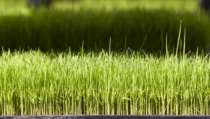 Download Young Rice Or Rice Seedling Stock Photo - Image: 22812016