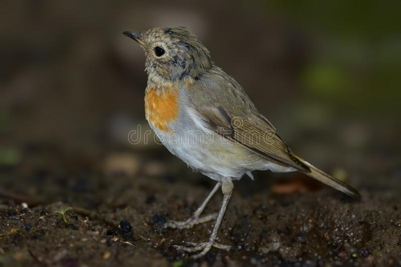 Young robin Erithacus rubecula sits on the bird watering place in the woods stock photo