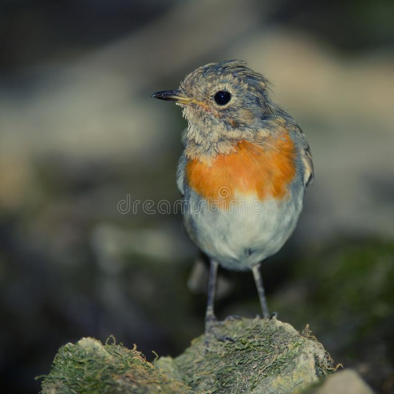 Young robin Erithacus rubecula sits on the bird watering place in the woods royalty free stock image