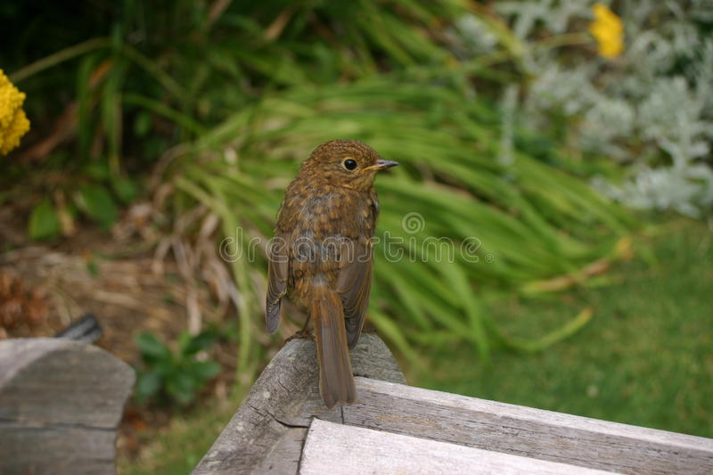 Young robin on bench. Young robin (Erithacus rubecula) with no adult red plumage on the breast. Stood on the back of a wooden chair with grass, leaves and royalty free stock photography
