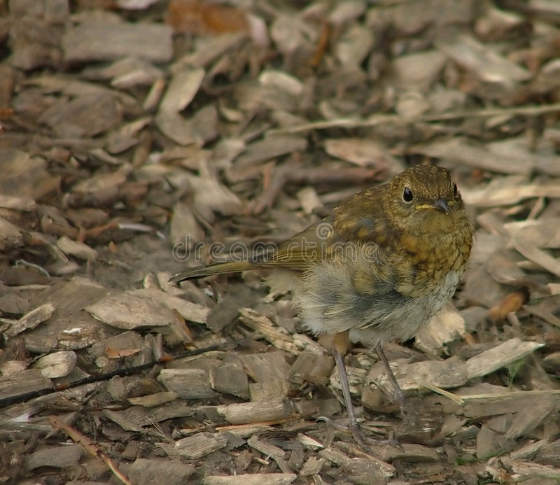 Download Young robin in waiting stock image. Image of juvenile, bird - 221723