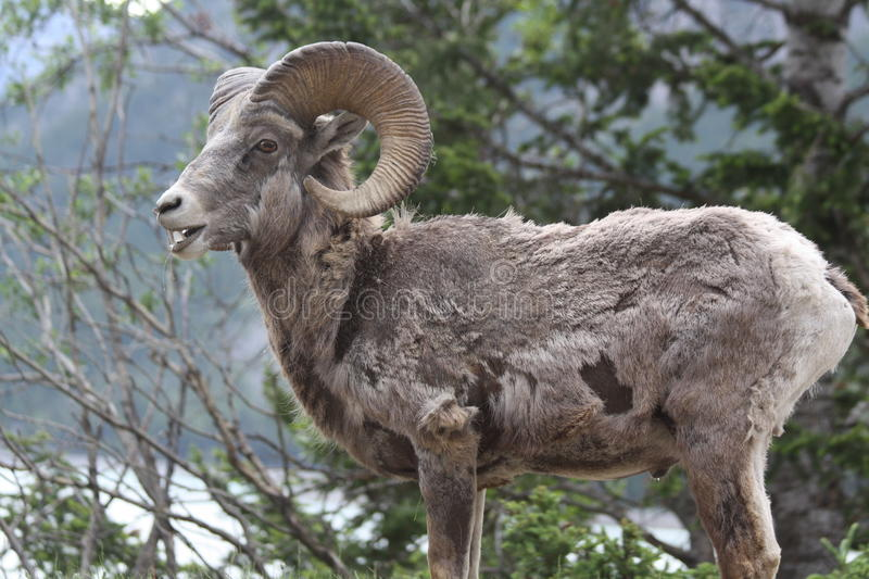 Download Young Rocky Mountain Bighorn Sheep Stock Photo - Image of autumn, quarter: 16626524