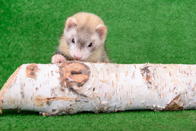 Download Young rodent ferret stock image. Image of predator, green - 32009743
