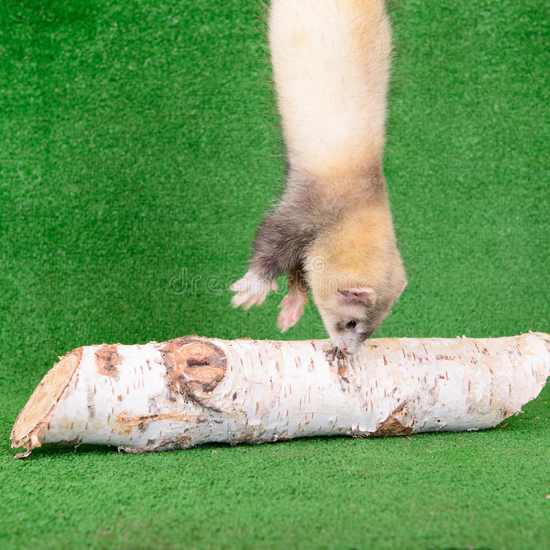 Download Young rodent ferret stock photo. Image of mink, furry - 32009866