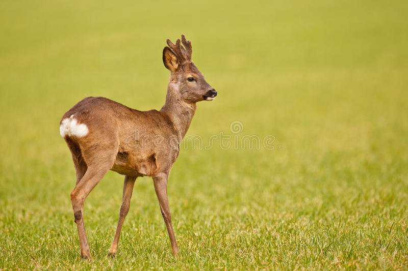 Download Young roe stock photo. Image of deer, natural, cress - 25880802