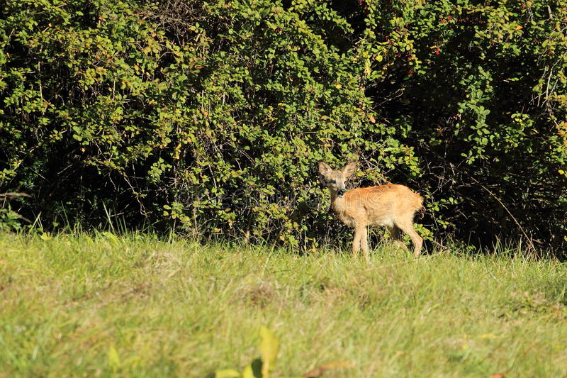Download Young roe deer stock image. Image of suckling, juvenile - 21642465