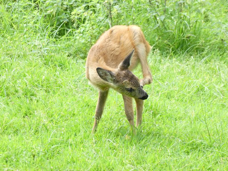Little roe-deer royalty free stock images