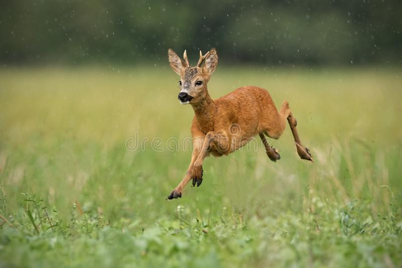 Young roe deer, capreolus capreolus, buck running fast in the summer rain. royalty free stock images