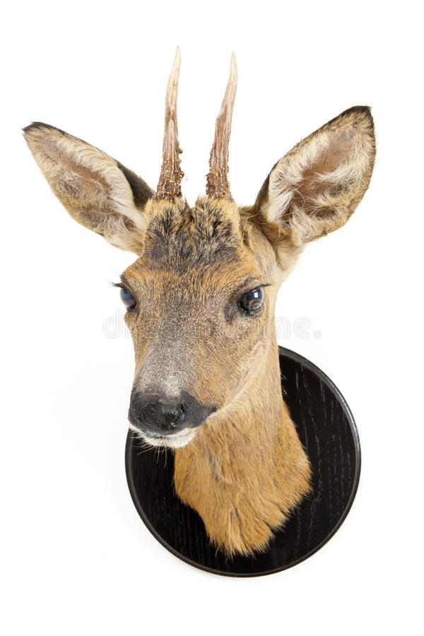 Download Young roe deer head stock photo. Image of pointy, dead - 13550870