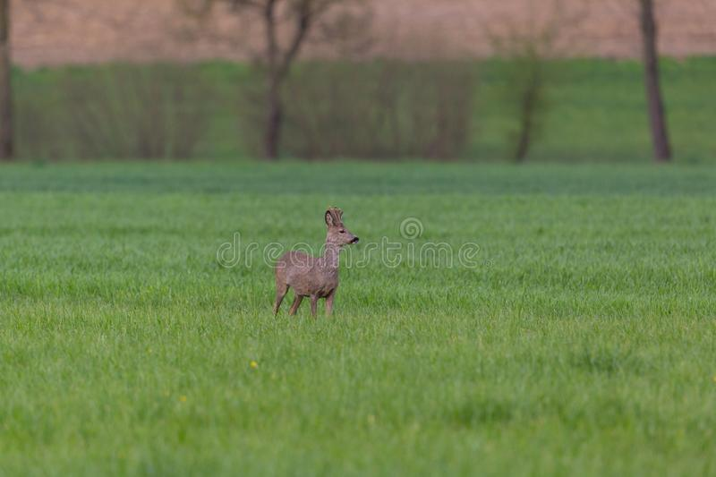 Young roebuck capreolus standing in green meadow, trees in bac stock photo