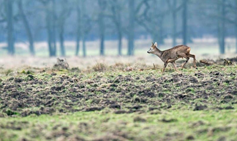 Young roebuck on the run in meadow. stock photos