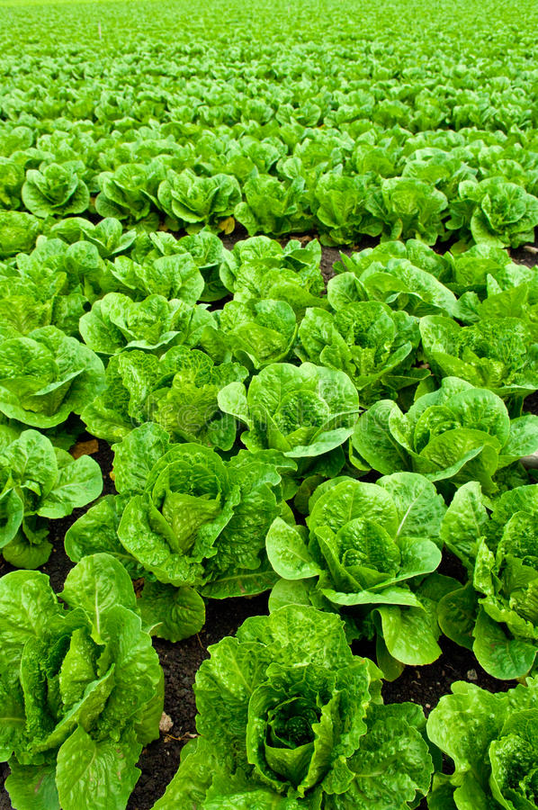 Young Romaine Lettuce royalty free stock images