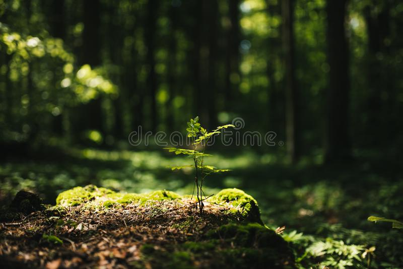 Young rowan tree seedling grow from old stump in Poland forest. stock photos