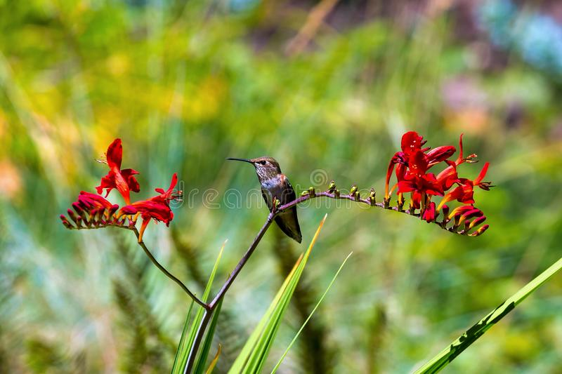 Young Rufous Hummingbird Perched on Flower. Young Rufous Hummingbird perched on stalk of Crocosmia red flowers in summer royalty free stock images