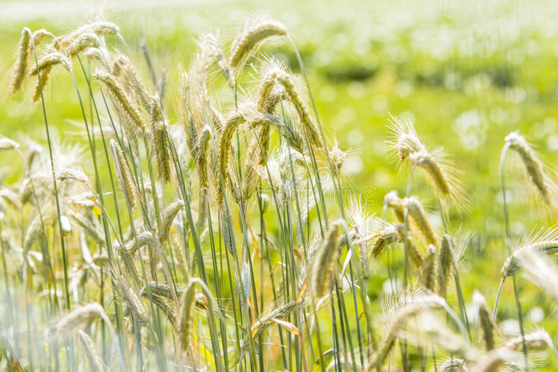 Young rye. Ripening young rye in light green stock photo