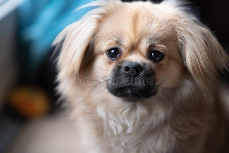 Young sabel tibetan spaniel dog royalty free stock photos