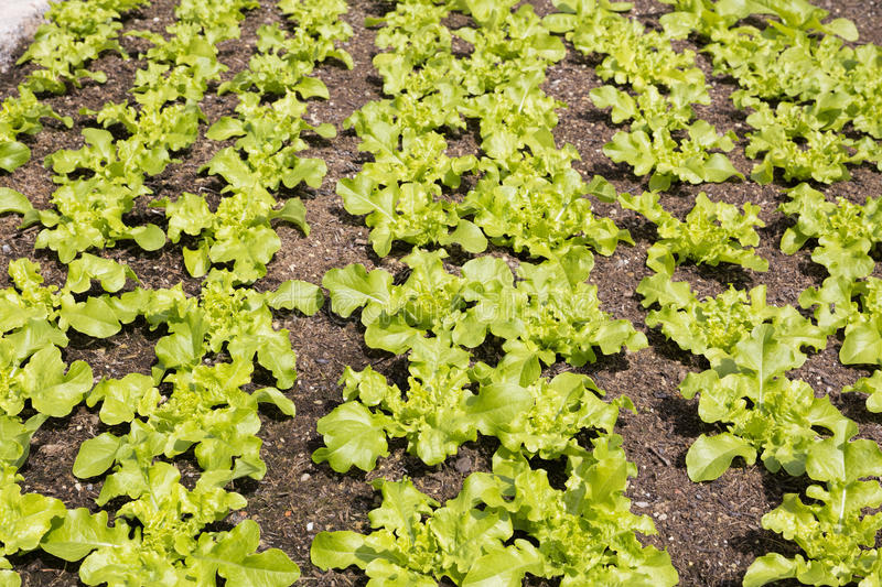 Young salad plants in a field. In spring stock image