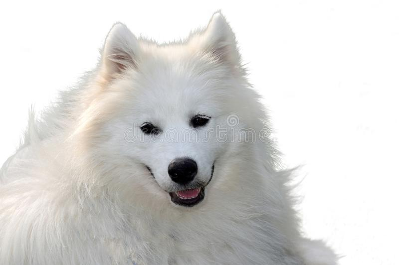 Portrait of a young samoyed dog royalty free stock images
