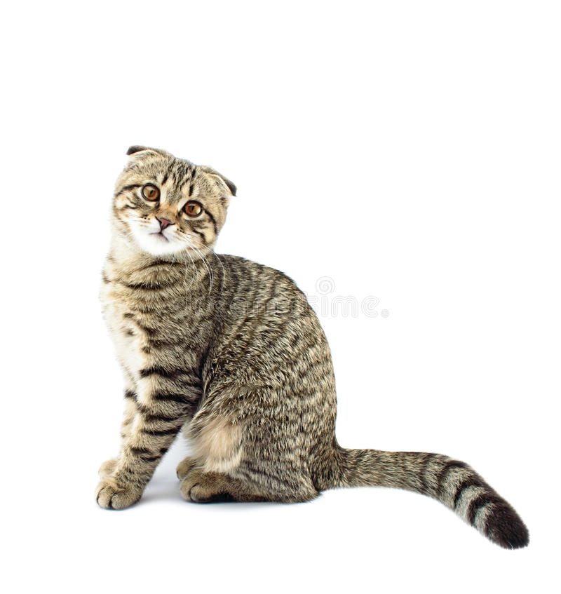 Young scottish fold cat. Isolated on the white background stock images