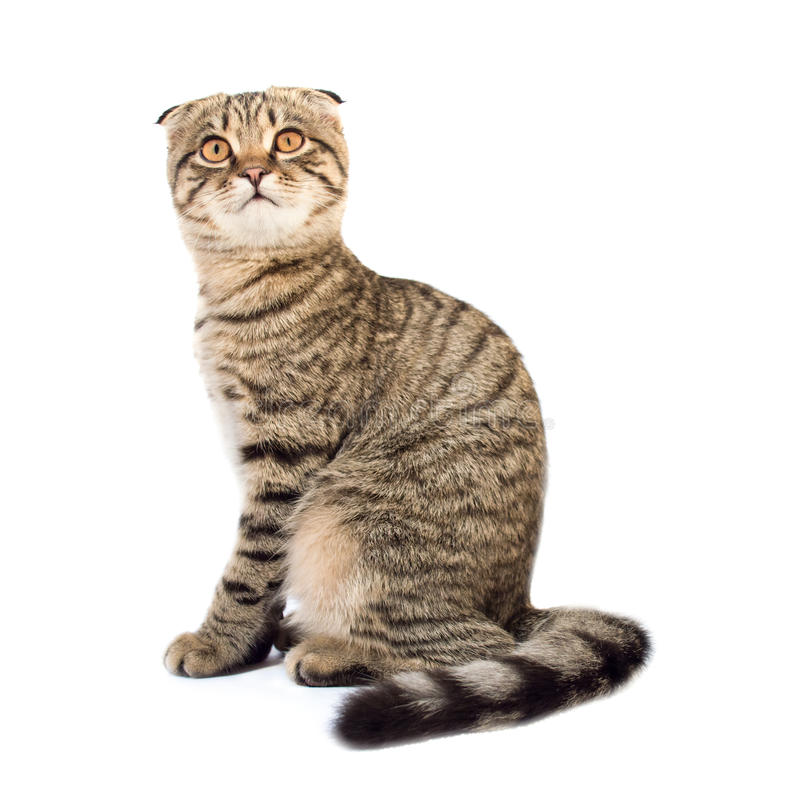 Young scottish fold cat. Isolated on the white background royalty free stock images