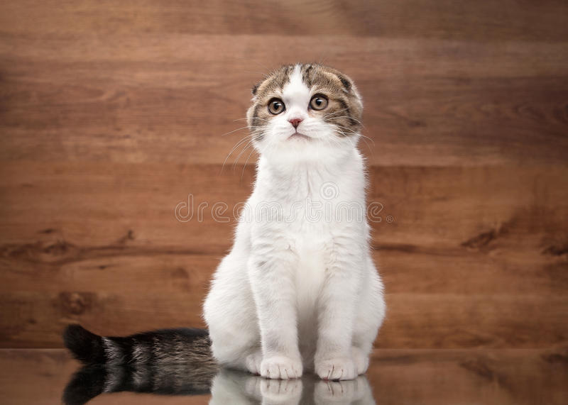 Young scottish fold kitten on mirror and wooden texture. Scottish fold kitten on mirror and wooden texture royalty free stock photography