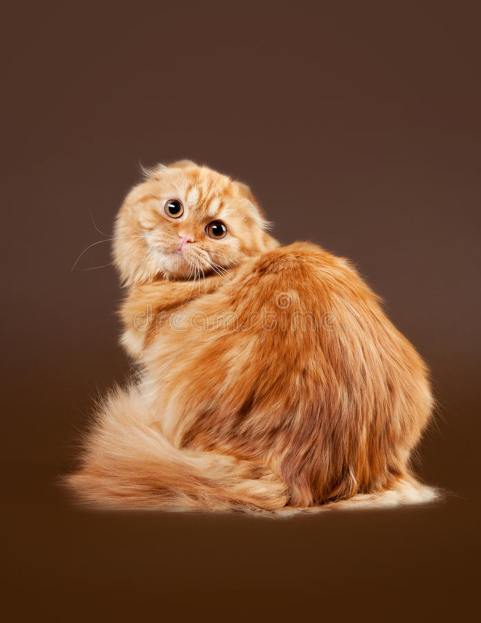 Young scottish highland fold kitten royalty free stock photo