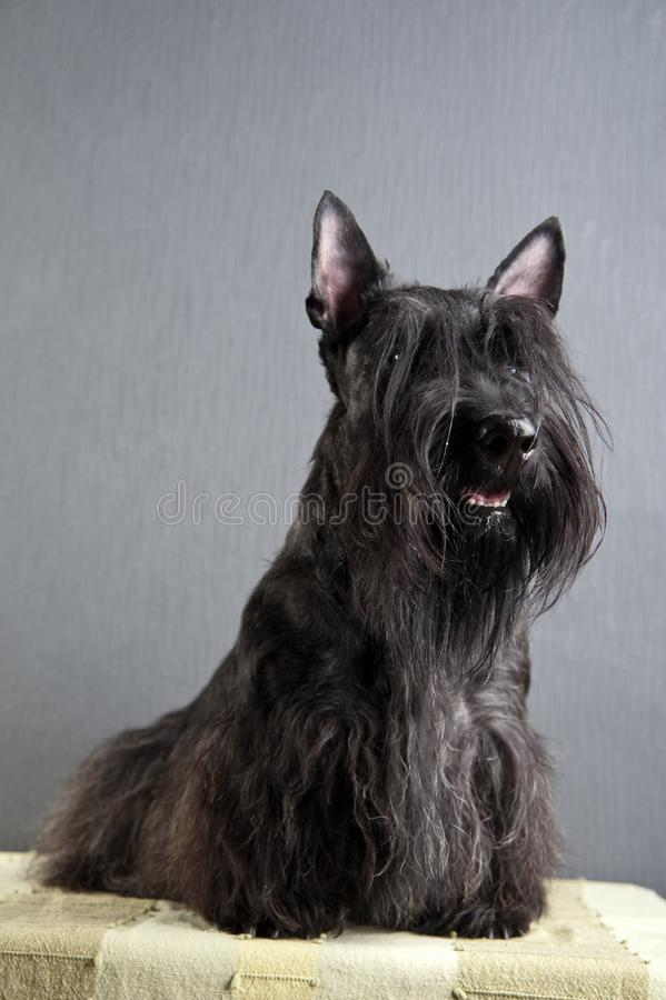 Young scottish terrier on grey background stock photography