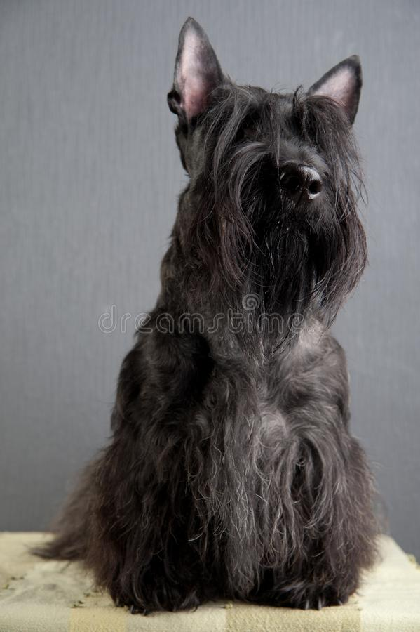 Young scottish terrier on grey background stock image