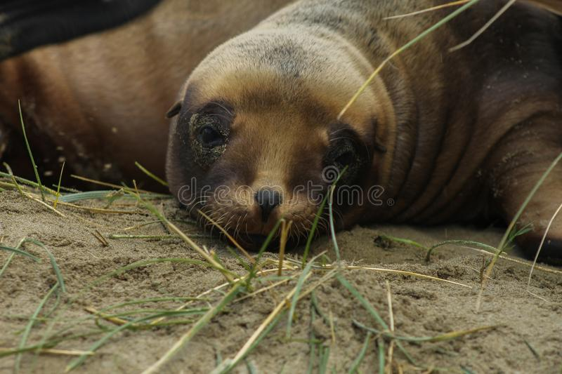 Young Sea lion laying in the dunes looking cute. Two young sea lions playing in the sand and grass dunes. Brown baby seallions look funny and cute. They cuddle stock photos