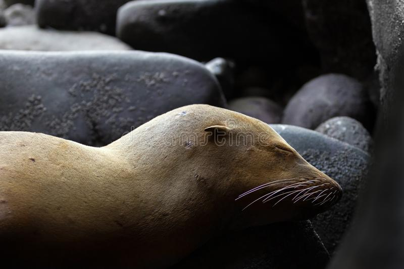 Young Sea Lion Sleeping Camouflaged as a Rock His Ear and Whiskers are Prominent Give Aways. A young sea lion lays asleep in the mouth of a cave where he is royalty free stock images