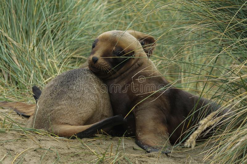 Young Sea Lions cuddling in the dunes. Two young sea lions playing in the sand and grass dunes. Brown baby seallions look funny and cute. They cuddle and paly stock photography