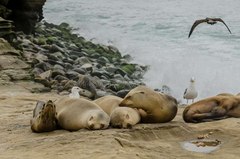 Young Sea Lions Sleeping on Rocks. With Pacific waves crashing in background royalty free stock photography